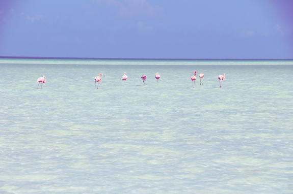 flamingos-at-isla-holbox-mexico